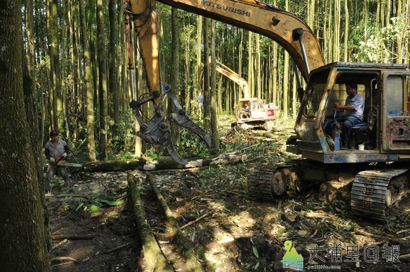 因台糖土地計畫另作他用,埔里鎮「黑森林」近日怪手、伐木工人進駐,將整批砍除。(柏原祥 攝)