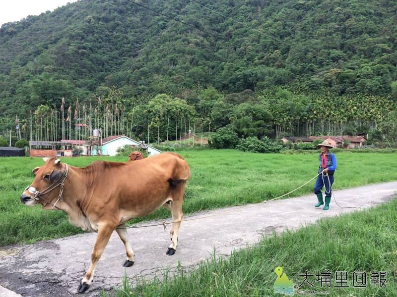 埔里祕境風景日漸消失,如東南半鎮的黃牛如今也不復見。(陳巨凱 攝)