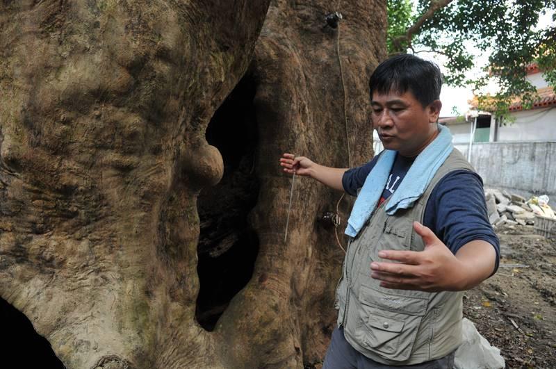 樹醫生劉東啟指茄苳樹王公的年輪木質部分中空,棲地人工設施造成排水不良,樹根腐朽,枝葉看似茂密,其實有生命危險,必須盡快搶救。(柏原祥 攝)