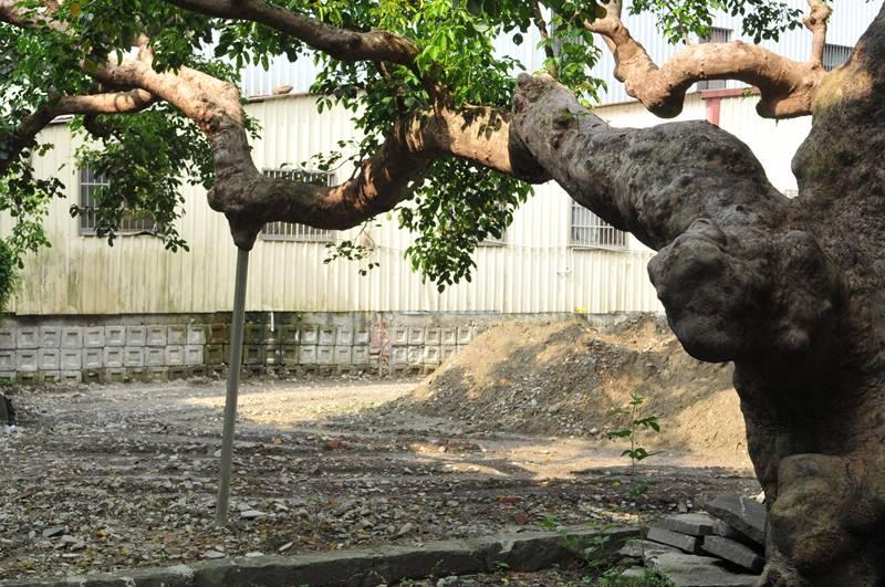 樹醫生劉東啟指茄苳樹王公人工設施干擾,反而造成健康惡化,如支撐分枝的鐵柱,不但使得老樹無法發展出二代木,鐵柱還會造成樹身腐爛,加速老樹死亡。(柏原祥 攝)