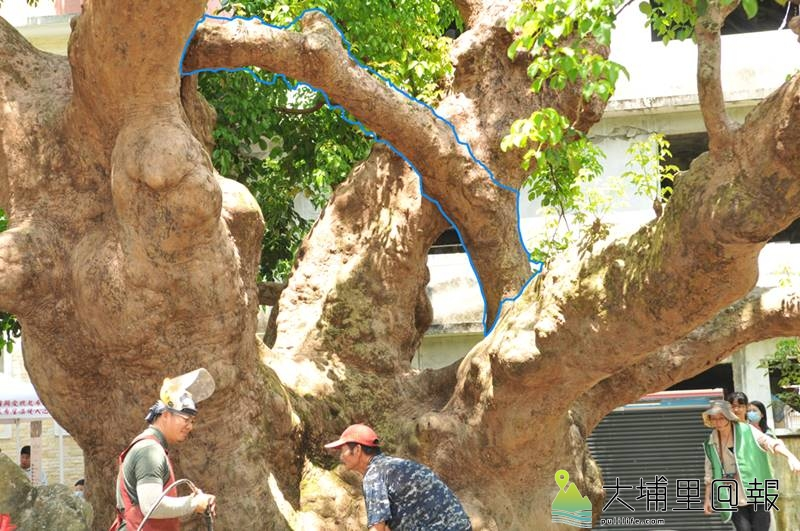 樹醫生劉東啟指出,茄苳樹王公是有智慧的樹木,祂為了避免三支幹過重造成樹頭縱裂,發展出連結三枝幹的橫枝(藍色筆畫處),形成更穩固的「井」字結構。(柏原祥 攝)