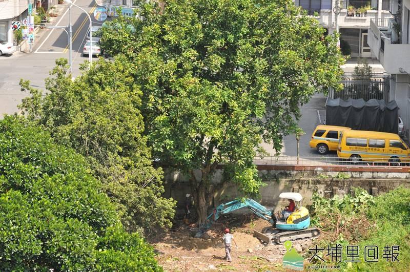 埔里鎮立圖書館、藝文中心飯店前的國有地將開發成飯店,土地上的老樹近日執行移植作業。(柏原祥攝)