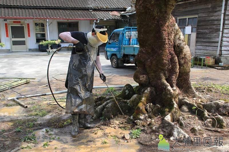 紅仙水鳳凰木救援行動展開,志工以水刀鑽孔,改善棲地狀況,讓根系順利呼吸。(陳婉真 攝)