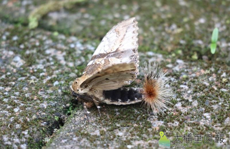 腹部尾端長著毛叢的著蕊尾舟蛾。(潘樵 攝)