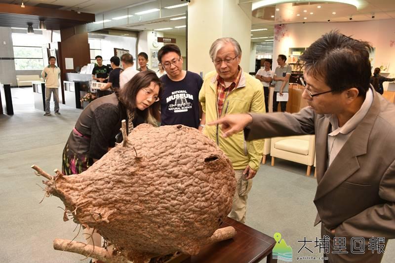 暨南國際大學校內摘取的巨型虎頭蜂窩,將轉交給國立自然科學博物館做展示及研究。(柏原祥 攝)