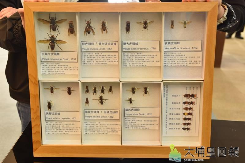 暨南國際大學校內摘取巨型虎頭蜂窩贈予國立自然科學博物館做展示及研究,圖為國內虎頭蜂物種標本,下排左二黑腹虎頭蜂,上排左一為體型最大的中華大虎頭蜂。(柏原祥 攝)