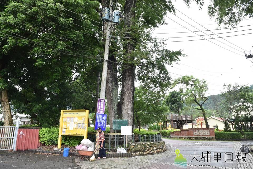 埔里鎮蜈蚣里楓香社區原有20多棵楓香巨木群,如今僅剩下個位數。(柏原祥 攝)