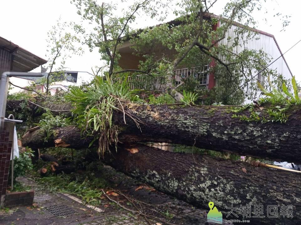 埔里鎮蜈蚣里楓香社區百年楓樹倒伏,壓毀數間民宅屋頂與車輛。(圖/民眾提供)