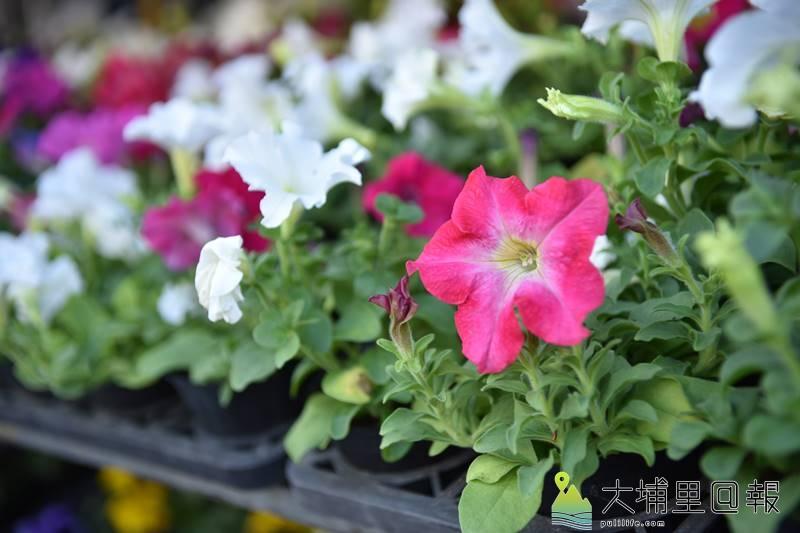 今年埔里嘉年華大方送,準備了兩萬盆鳳仙花、三色菫、矮牽牛、一串紅草花送給鎮民,美化居家。(柏原祥 攝)
