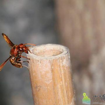 壺蜂飛到竹管口。(圖/宏仁國中提供)