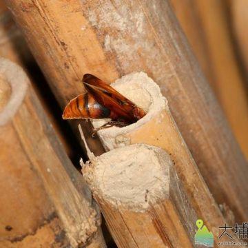 壺蜂進入竹管築巢。(圖/宏仁國中提供)