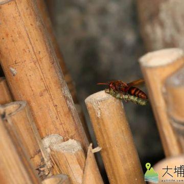 壺蜂捕捉捲葉蛾幼蟲回來。(圖/宏仁國中提供)